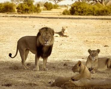 cachorros-leon-cecil-3
