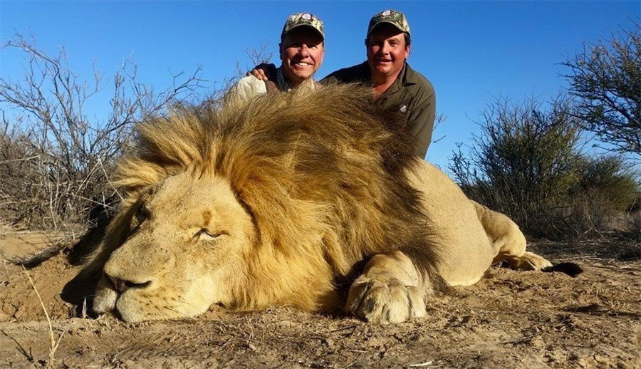 Los estadounidenses MATAN a cientos de leones cada año por pura diversión