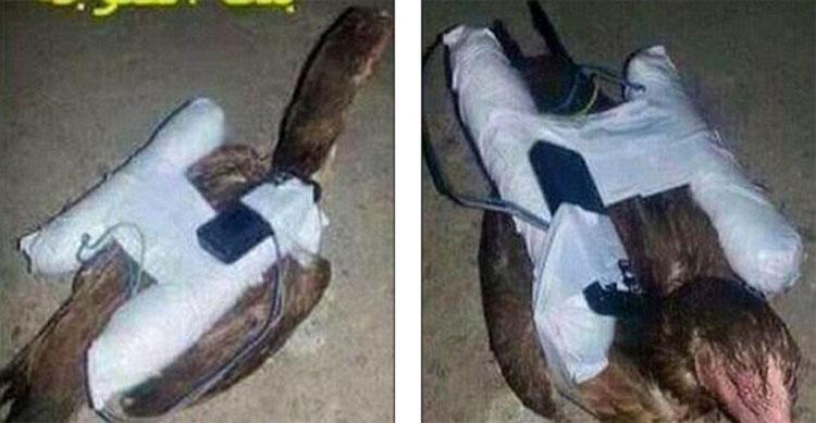 Nuevas imágenes muestran a los terroristas del ISIS poniendo bombas a gallinas de hacer aves suicidas 2