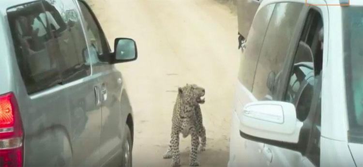 Leopardo muerto después de que un guía de safari lo ATROPELLE DELIBERADAMENTE