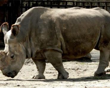 En la actualidad QUEDAN sólo 4 de estos rinocerontes en todo el planeta 1