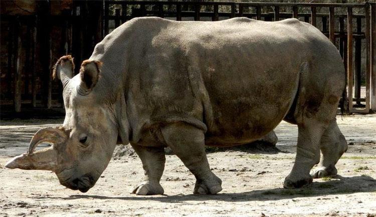 En la actualidad QUEDAN sólo 4 de estos rinocerontes en todo el planeta