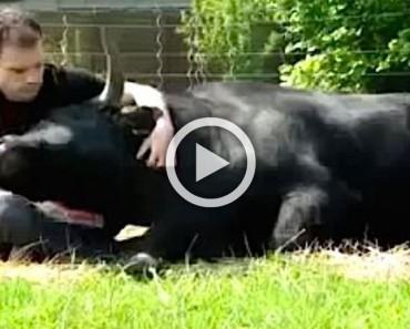¿Un toro nace para morir cruelmente? ASÍ es un toro críado como un perro