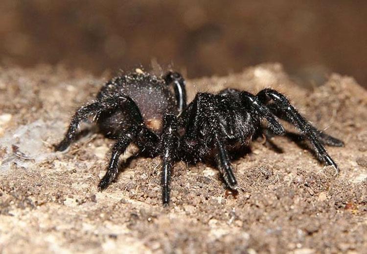 Si alguna vez te encuentras con esta araña australiana, ¡CORRE tan rápido como puedas!