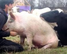 Una vaca y un cerdo 'luchan' por llamar la atención de su cuidador en uno de los vídeos más felices que hemos visto NUNCA