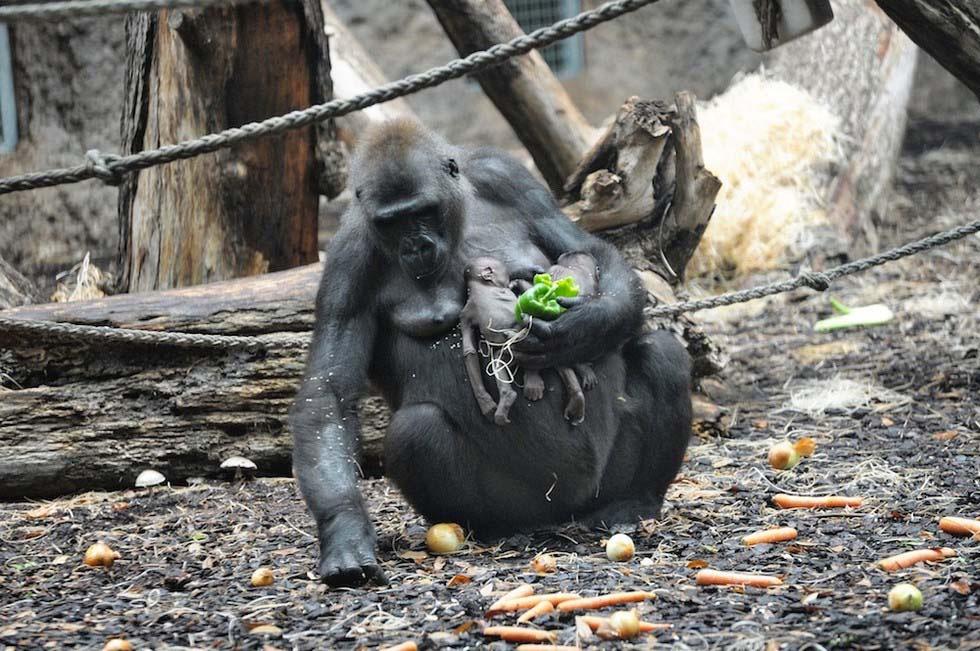Este bebé gorila murió en un zoo, y su madre simplemente no pudo DEJAR QUE SE FUERA