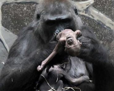 Este bebé gorila murió en un zoo, y su madre simplemente no pudo DEJAR QUE SE FUERA 1