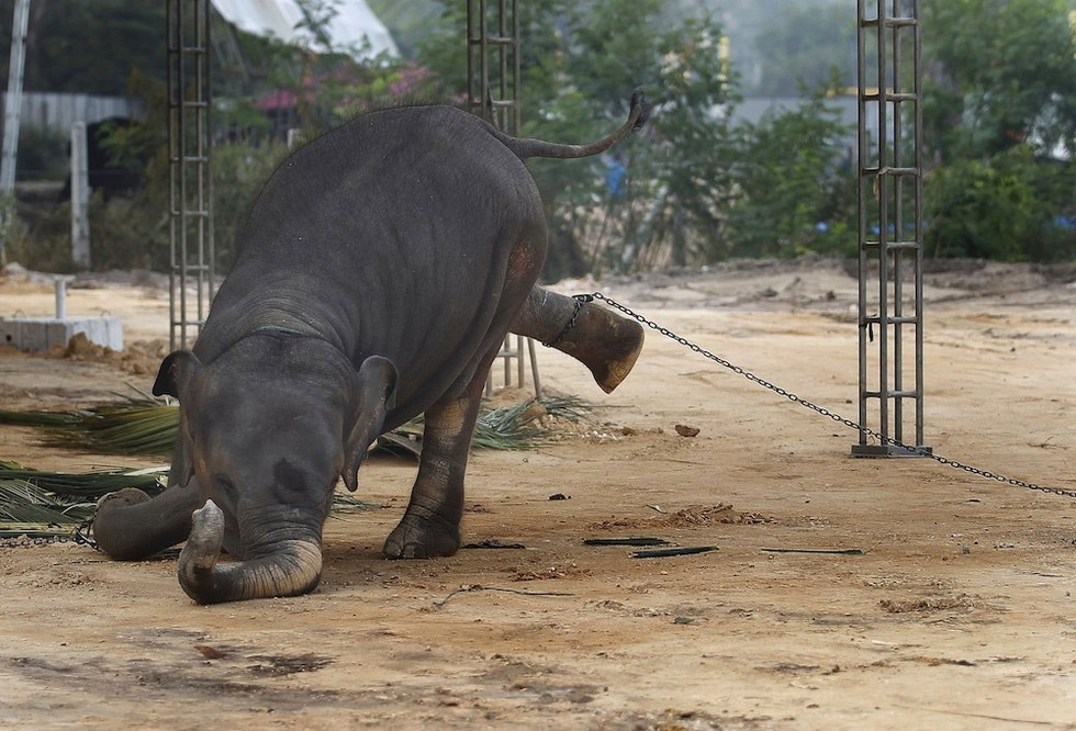Elefantes son ENCADENADOS todo el día y toda la noche en nombre de la religión
