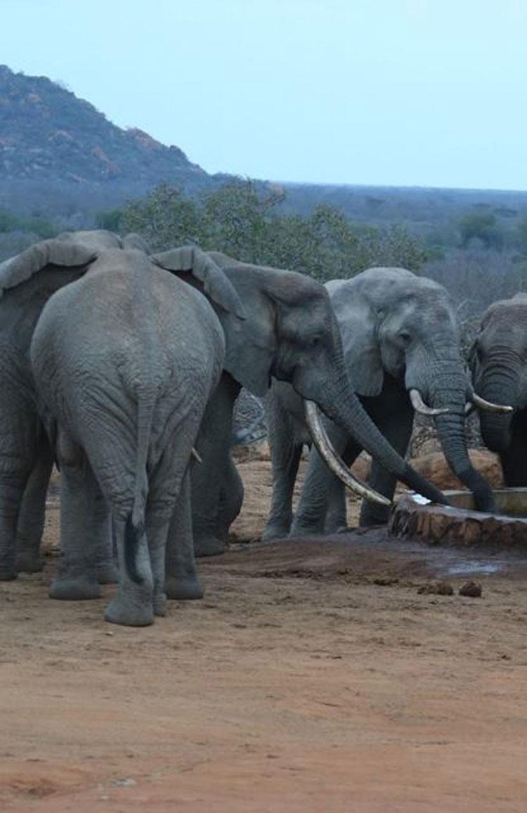 Elefantes a los que les han DISPARADO flechas envenenadas viajan para que les ayuden