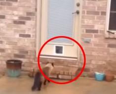 Le llevó 2 horas instalar una puerta para gatos. ¿Qué hace su gato cuando la ve? ¡Me muero de risa!