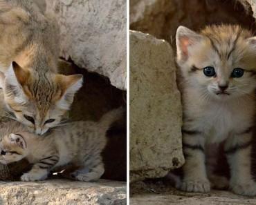 Los gatos adultos de esta RARA especie salvaje parecen adorables gatitos durante TODA SU VIDA 1