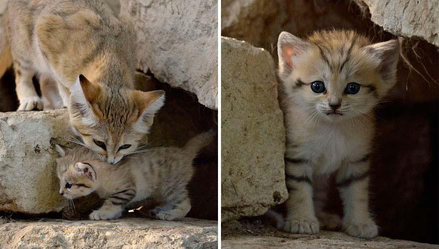 Los gatos adultos de esta RARA especie salvaje parecen adorables gatitos durante TODA SU VIDA