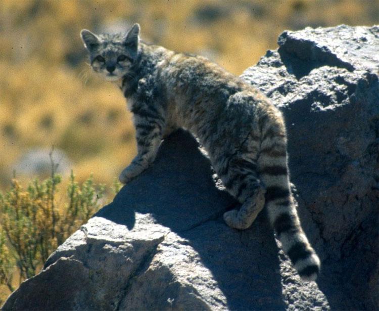 Nuevas fotos capturadas de uno de los gatos más raros del mundo