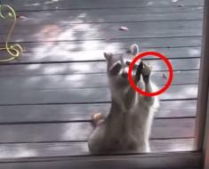 Filman a un mapache UTILIZANDO una simple piedra para hacer algo extraordinario. ¡HAY QUE VERLO!