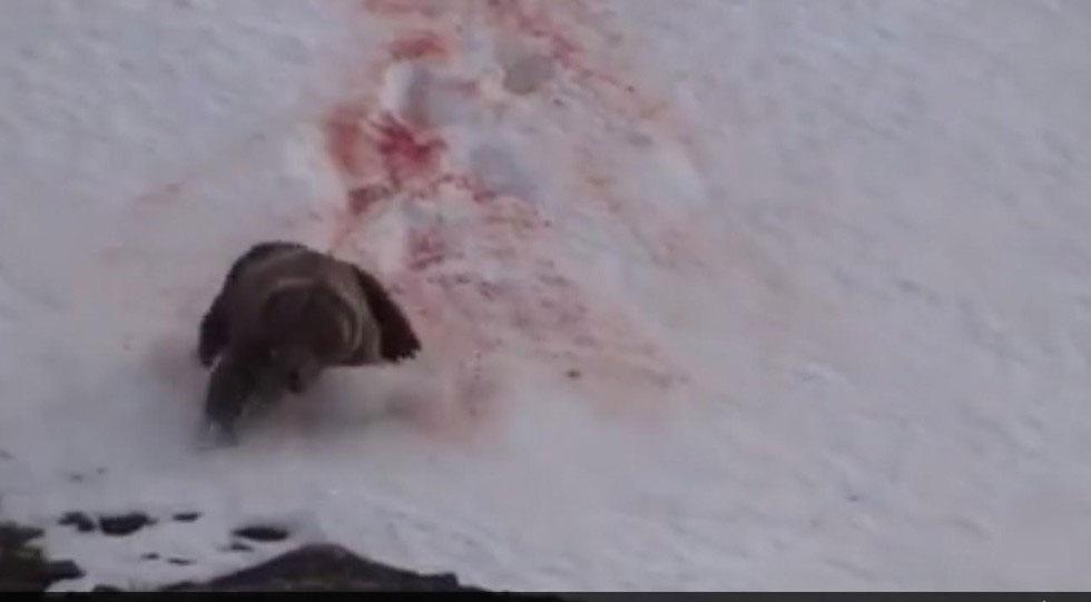 IMÁGENES DURAS: Este oso intenta escapar desesperadamente de unos cazadores en un desgarrador video