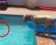 A este perro se le cae accidentalmente su pelota a la piscina. ¡No podrá creer CÓMO la recupera!