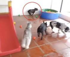 Cuando este perro ve una piscina de bolas por primera vez, su reacción NO TIENE PRECIO