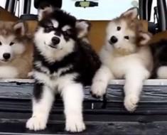 Lo que estos perritos hacen cuando oyen su canción favorita hará que su día esté completo