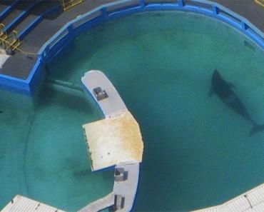 Lolita ha pasado 45 años en el tanque para orcas más minúsculo de Estados Unidos