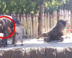 Mantenga sus ojos en el elefante de la IZQUIERDA. ¡Está a punto de hacer algo INESPERADO!