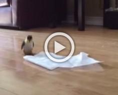 Este pequeño pajaro encuentra una toalla de papel. Ahora mira lo que hace con ella. ¡WOW!