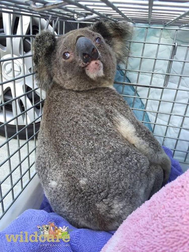 Este koala vuelve a casa para encontrar que su bosque ha DESAPARECIDO. ¡Terrible!