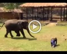 Este elefante piensa que su cuidador está en peligro. Ahora MIRA cómo responde
