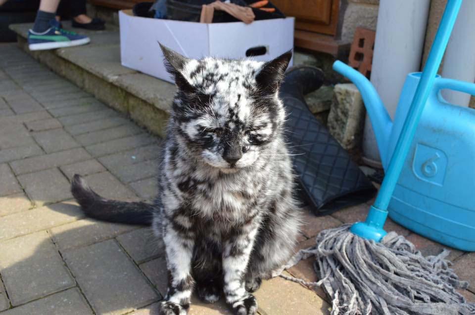 Este gato es único. Está cambiando lentamente de negro a blanco 2