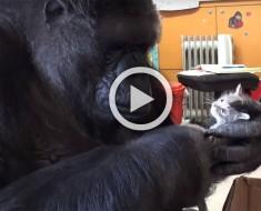 La gorilla Koko adopta dos gatitos por su cumpleaños, un momento CONMOVEDOR
