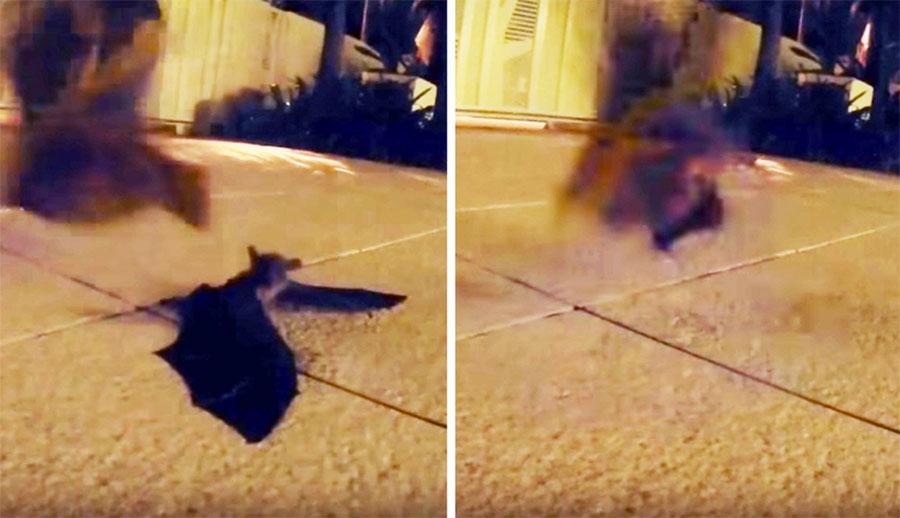 El amor de una madre mostrado en este emotivo vídeo de murciélagos. Atención a lo que hace mamá