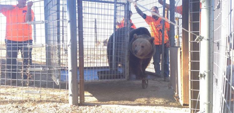Estos 17 osos estuvieron encerrados en pozos de hormigón durante años. ¡Mira su reacción al ser LIBERADOS!