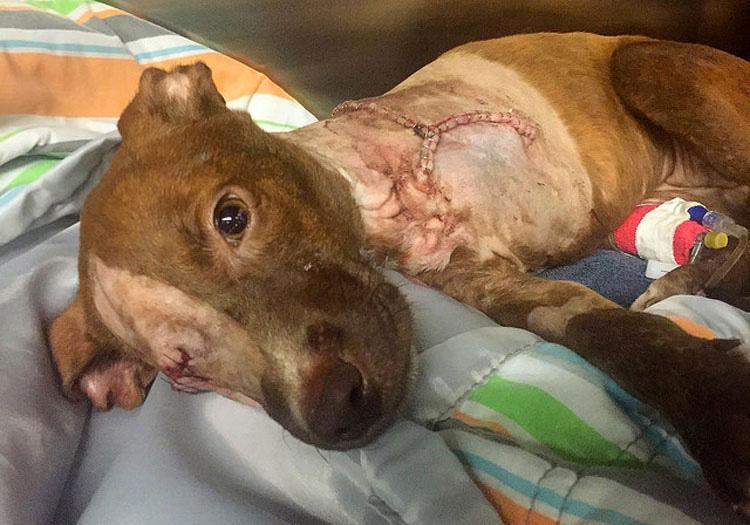 AVISO: CONTENIDO GRÁFICO. Esta perrita maltratada y con la pierna cortada todavía tiene un gran corazón