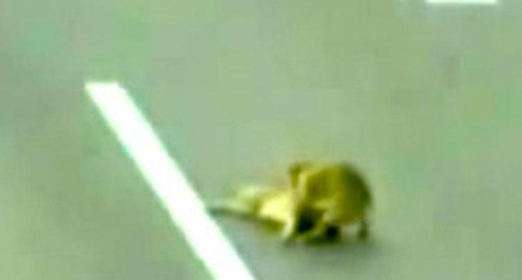 Un perro yace impotente y malherido en la autopista, pero su amigo se niega a dejarlo morir