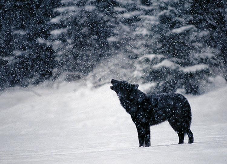 Vio impotente cómo un lobo salvaje se acercaba a su perro. Entonces ocurrió algo INCREÍBLE