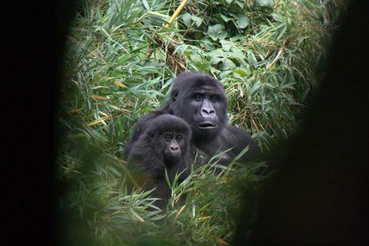 La imagen que se ha hecho viral: un hombre consuela a un gorila que acaba de perder a su madre