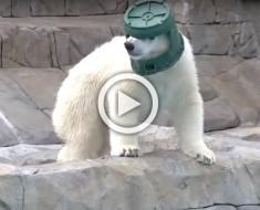 Lo que este oso polar hace para divertirse es lo más extraño que verás todo el día