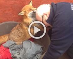 Visita al zorro que rescató hace 7 años. Ahora preste especial atención cuando lo ve de nuevo