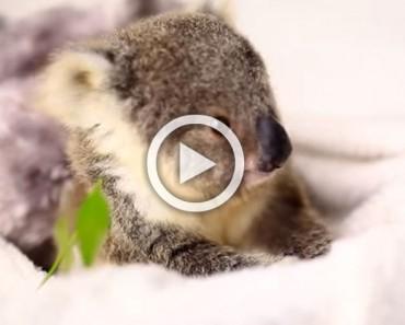 Este bebé koala ni siquiera parece real, ahora espera hasta que veas lo que hace para la cámara