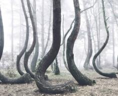 Estos 400 árboles fueron misteriosamente torcidos hace 90 años. ¿Cuál es la posible razón?