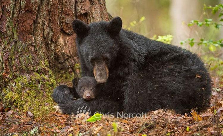 38 madres muertas en una caza masiva de osos, deja a todos sus cachorros solos