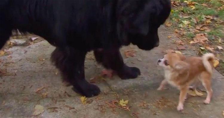 Este diminuto chihuahua salva a su hermano mayor de un ladrón de perros