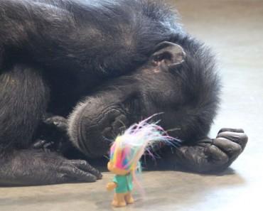 Esta chimpancé con un pasado muy oscuro encuentra la felicidad de esta forma. Hermoso y trágico