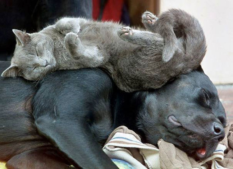 10 Gatos a los que les encanta utilizar a perros como almohadas. La #9 es la pareja perfecta