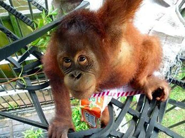 Esta madre orangután fue torturada por los aldeanos por tratar de alimentar a su bebé