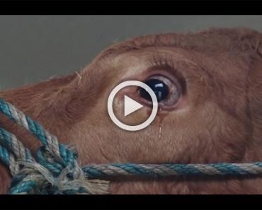Esta vaca estaba tan asustada que empezó a llorar, hasta que comprendió lo que estaba pasando en realidad