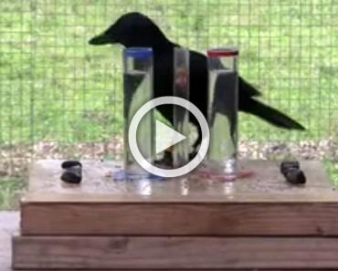 Un cuervo sediento quería beber, lo que hizo SORPRENDIÓ a los investigadores
