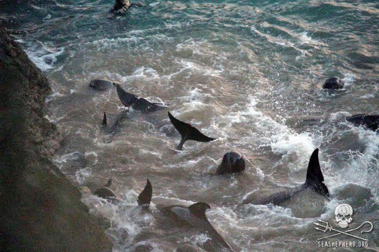 Ballenas asustadas se lanzan contra las rocas para escapar de los cazadores