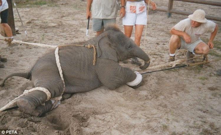 La tristeza de los elefantes de circo en una foto (y la historia detrás de ésta)