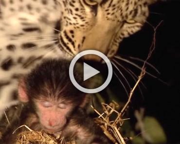 Este enorme leopardo sorprende a un pequeño mono dormido. ATENCIÓN a cuando abre la boca...