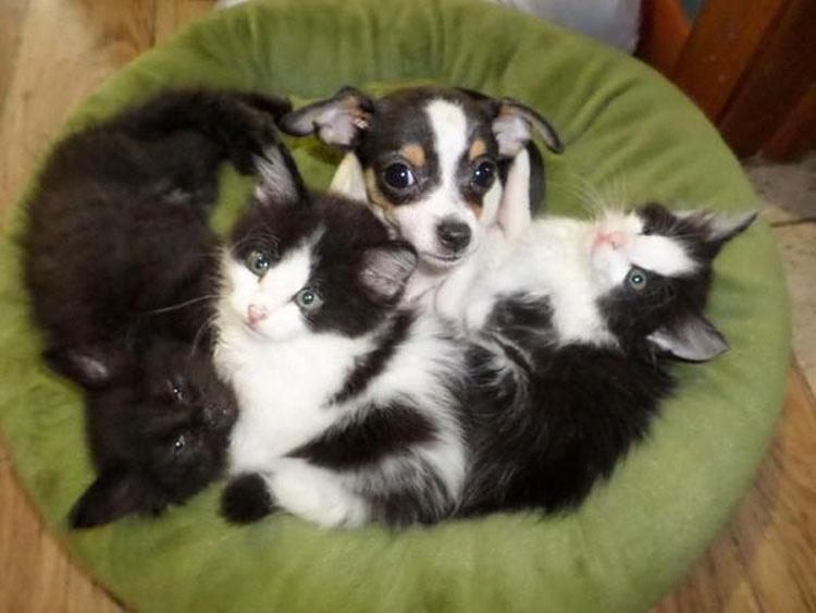 11 gatos extraños que parecen sospechosamente perros